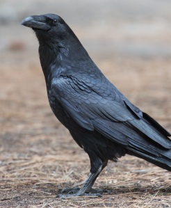 Corvus_corax_(Common_Raven),_Yosemite_NP,_CA,_US_-_Diliff